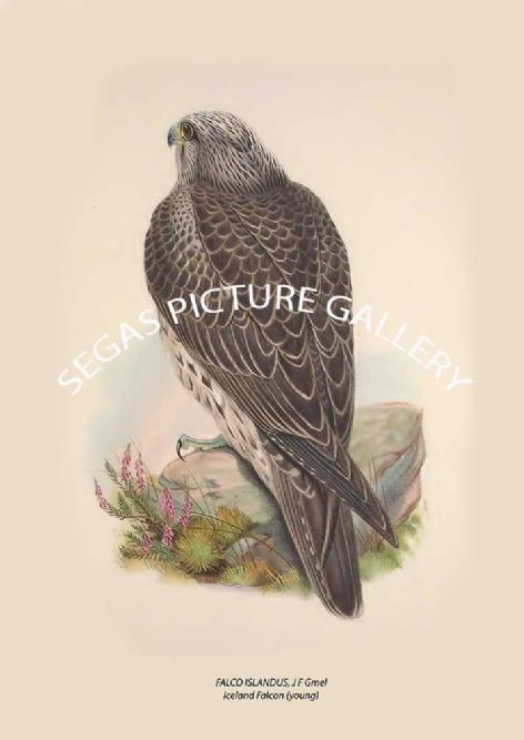 Fine art print of the FALCO ISLANDUS, J F Gmel Iceland Falcon (young) by John Gould (1873)